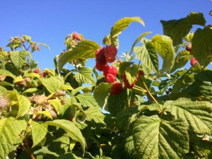 Boones Ferry Berry Farms Raspberries